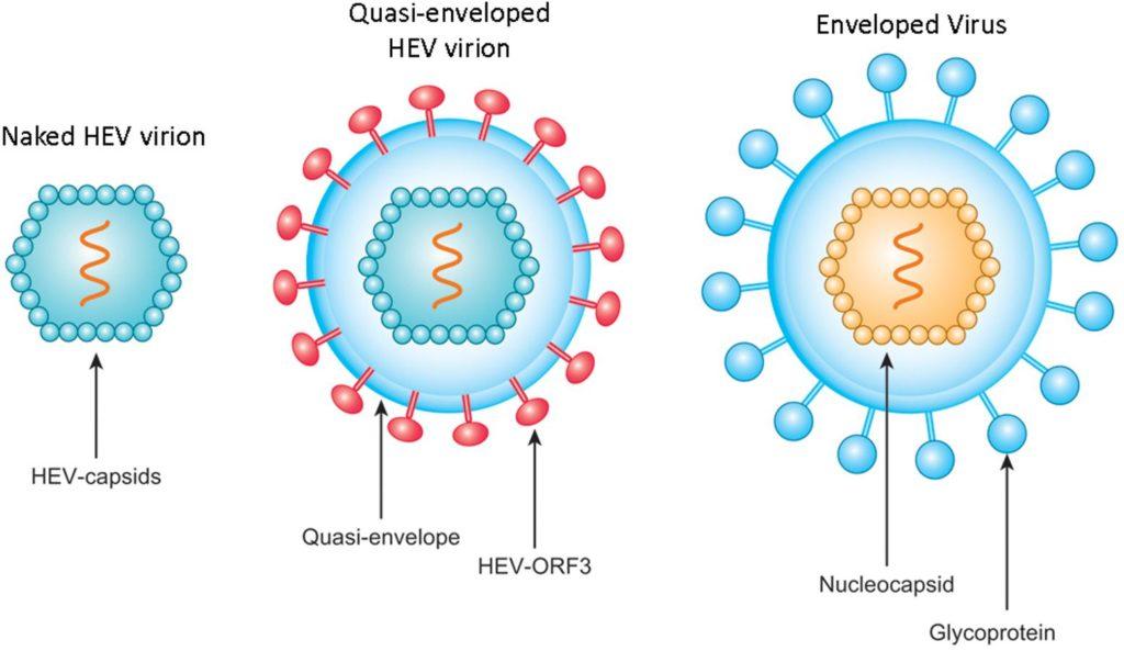 Hepatit E Virüsünün Yapısı