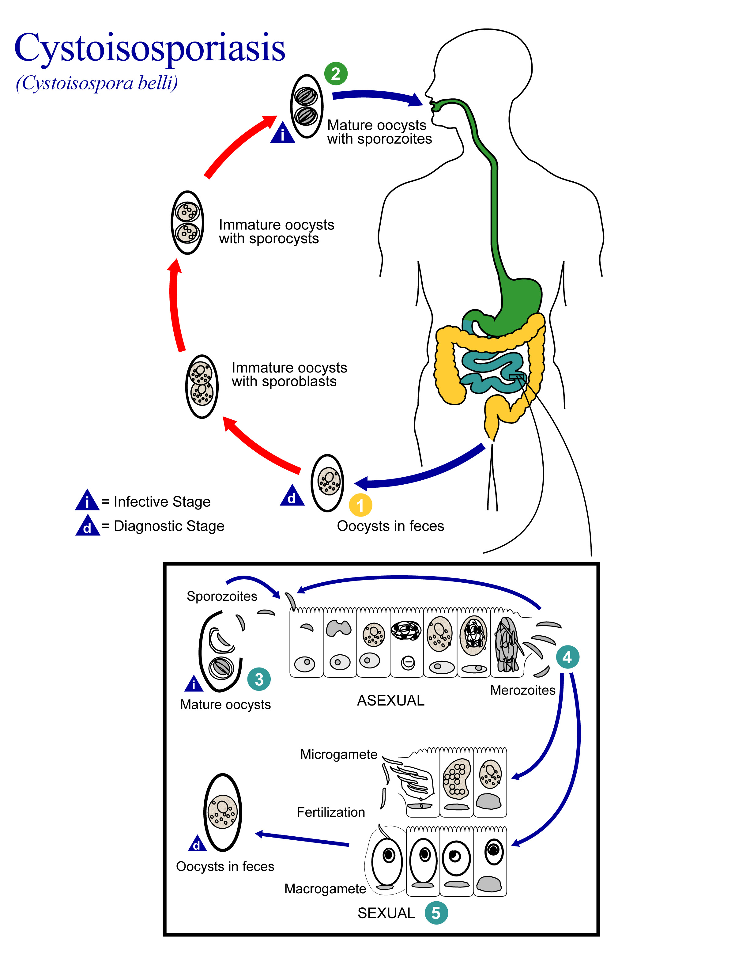 https://www.msdmanuals.com/-/media/manual/professional/images/inf-cystoisosporiasis-lifecycle.jpg?thn=0&sc_lang=en